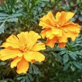 kwiatu odosobniony nagietka biel Zdjęcia Royalty Free
