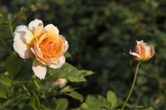 kwiatu ogród wzrastał Obrazy Royalty Free