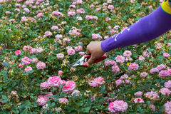 kwiatu ogrodnictwa ręki target6_0_ różanych strzyżenia Fotografia Royalty Free