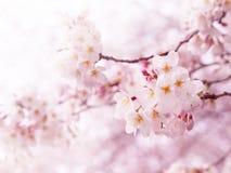 kwiatu okwitnięć wiśnia folował Obrazy Royalty Free