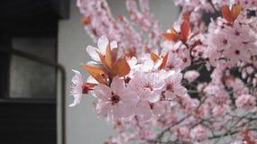 kwiatu okwitnięć wiśnia folował Zdjęcia Royalty Free