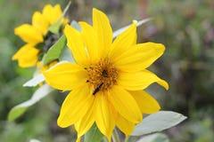 Kwiatu okwitnięcia słonecznik Zdjęcie Royalty Free