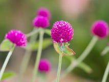 Kwiatu okwitnięcie Fotografia Stock
