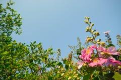 Kwiatu okwitnięcie Zdjęcia Royalty Free