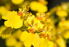 kwiatu oncidium orchidea Obrazy Stock