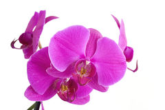 kwiatu orchidei menchie Zdjęcia Stock
