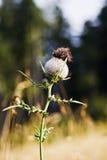 kwiatu oset Zdjęcia Royalty Free