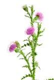 Kwiatu oset odizolowywający na białym tle makro- Zdjęcie Royalty Free