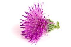 Kwiatu oset odizolowywający na białym tle makro- Obraz Stock