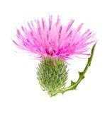 Kwiatu oset odizolowywający na białym tle makro- Zdjęcia Stock