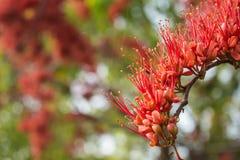 Kwiatu owocolistka czerwień w ogródu parku Obrazy Royalty Free
