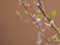 kwiatu owocowy wiosna drzewo Zdjęcie Royalty Free