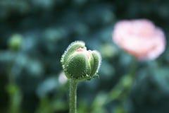 Kwiatu pączek Fotografia Royalty Free
