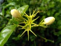 Kwiatu pączek obrazy stock