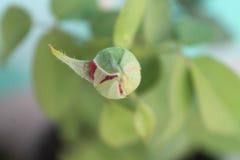 Kwiatu pączek Zdjęcia Stock
