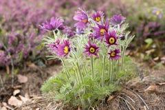 kwiatu pasque Obrazy Royalty Free