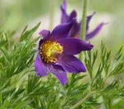 kwiatu pasque Obraz Royalty Free