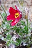 kwiatu pasque czerwień Zdjęcia Stock