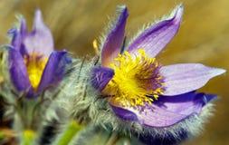 kwiatu pasqueflower Zdjęcia Royalty Free