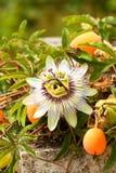 kwiatu passiflora pasja Obrazy Royalty Free