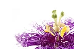 kwiatu passiflora pasja Obrazy Stock