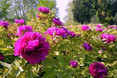 kwiatu peoni menchie obraz royalty free