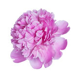 kwiatu peoni menchie Obraz Stock