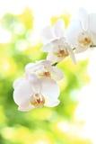 kwiatu phalaenopsis Obrazy Stock