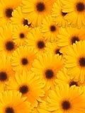 kwiatu piękny kolor żółty Fotografia Royalty Free