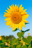 kwiatu piękny słonecznik Zdjęcie Royalty Free