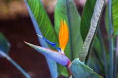 kwiatu piękny ptasi raj Tropikalni kwiatu Strelitzia reginae na zielonym tle Zdjęcia Stock