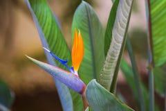 kwiatu piękny ptasi raj Tropikalni kwiatu Strelitzia reginae na zielonym tle Zdjęcia Royalty Free