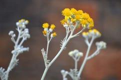 Kwiatu piołun Obrazy Royalty Free