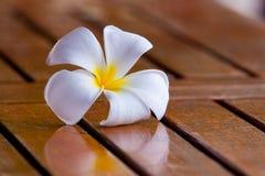 kwiatu plumeria zdjęcie stock