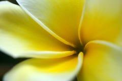 kwiatu plumeria kolor żółty Obrazy Stock