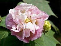 kwiatu poślubnik Zdjęcia Royalty Free