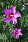 kwiatu poślubnika menchie Fotografia Royalty Free