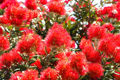 kwiatu pohutukawa Fotografia Stock