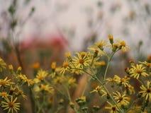 Kwiatu pola chamomiles spikelets lata różnego śródpolnego krajobrazu kolorowy tło zdjęcia royalty free