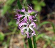 Kwiatu pola goździk Zdjęcie Stock