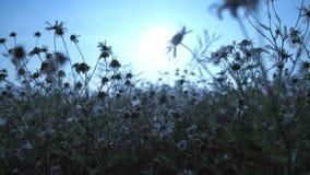Kwiatu pola trójnika słońca natury zwolnione tempo zbiory