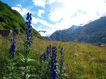 Kwiatu pole na Alpejskich górach w Szwajcaria, Unterstock, Urbachtal Zdjęcia Royalty Free