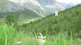 Kwiatu pole na tle góry Wiatrowi chwiania pola ziele, rzeczny spływanie w lecie Halny lato krajobraz, gr zbiory