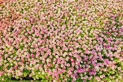Kwiatu pole w Północnym Tajlandia Zdjęcie Royalty Free