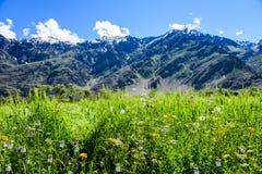 Kwiatu pole z śnieżną górą i słonecznym dniem Obraz Stock