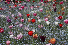 Kwiatu pole z tulipanami i niezapominajka kwiatami fotografia stock