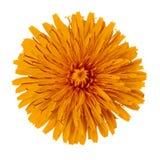 Kwiatu pomarańczowy dandelion odizolowywający na białym tle zamknięty pączkowy zamknięty kwiat bell świątecznej element projektu Fotografia Stock