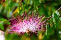 Kwiatu pompon, 2 zdjęcia stock