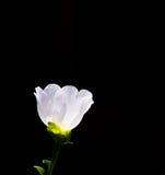 kwiatu portulaki biel Obrazy Stock