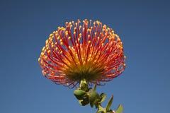 kwiatu proteus Obrazy Stock